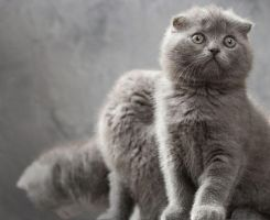 Scottish Fold Cats by EvgeniyLankin