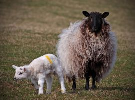 Spring Lamb with mother by BlonderMoment