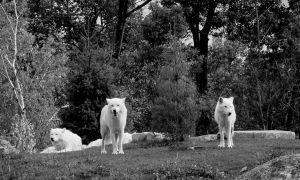 Gathering of The Pack - Wolves by roamingtigress