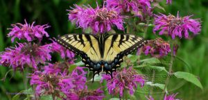E. Tiger Swallowtail Butterfly by Foozma73