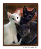 Three Colours Kittens by substar