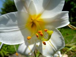 Inside the Trumpet Flowered Lily: Lilium Regale by Cloudwhisperer67