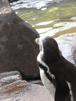 Penguin by Clergna