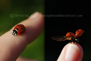 Ladybugs Life I by kyokosphotos
