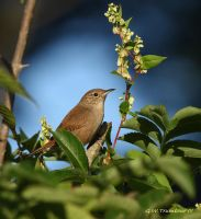 Wren by natureguy