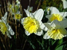 Evening Narcissus by JackHayden