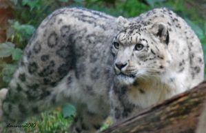 Snow Leopard 3 by DanielleMiner