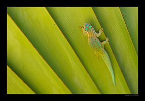 Gold dust day gecko by housikman