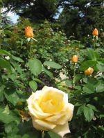 Yellow rose of friendship by mdu-ntr