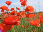 One poppy.. by Djsgirl