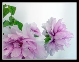 Gentle Pink 2 by kanes