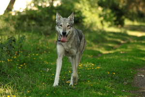 Wolfdog stock 13 by Bundy-Stock
