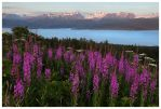 Fireweed and Glaciers by Nate-Zeman