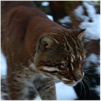 Temminck's Golden Cat by In-the-picture