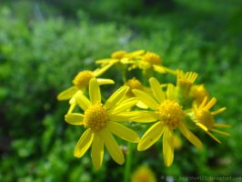 Yellow Flowers by SnapShot120