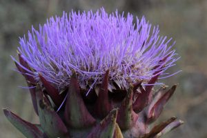 Artichoke flower by labronico7