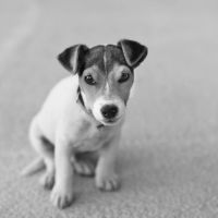 Rio the jack russel by D4Ybe