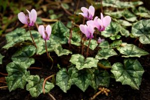 Small Cyclamen by steppelandstock