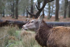 Red Deer Stag, profile by FurLined