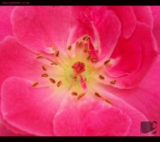 Macro Rose by faiis