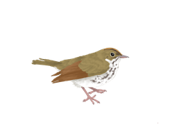 Ovenbird Graphic by Dragonmistral