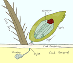 Rhizocephalan larva infecting a crab by The-Episiarch
