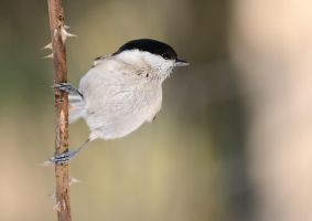 Marsh tit by corsuse
