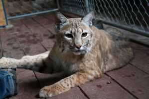Bobcat stock 13 by C-F-photography