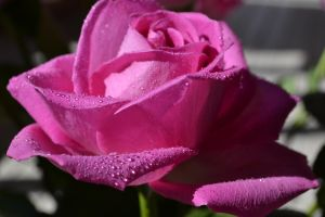 PINK ROSE 3 by ohidontkno