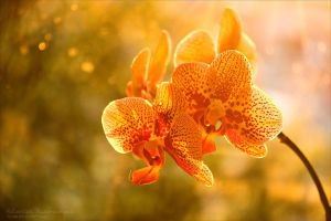 Orchid 3 by rici66