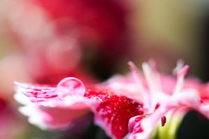 Drop on Dianthus by KingFamine