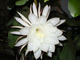 night-blooming cereus. by kitty1613