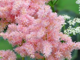Peach Blossom Astilbe by Kitteh-Pawz