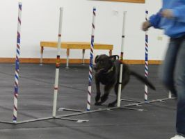 Dog Agility 1 by siroccoimages