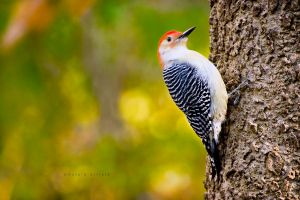 Red Bellied Woodpecker by bad95killer