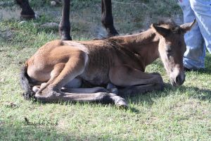 Foal Stock 4 by Thunderbolt-Designs