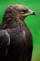 lesser spotted eagle 2 by Ulliart