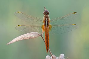 Crocothemis erythraea female by buleria