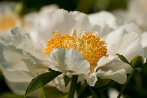 Peony by Destined2see