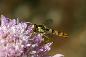 syrphid fly by beloutte