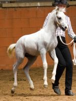 STOCK - 2014 Welsh QLD Show-130 by fillyrox