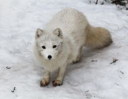 Arctic Fox at the Zoo by GeirMV
