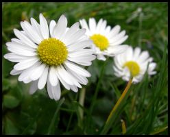 Daisies in the grass by Princess-Amy