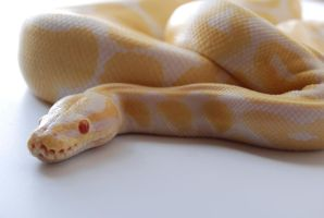 Albino Ball Python 4 by FearBeforeValor