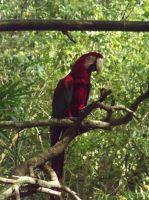 Red Macaw by WildSoulSpirit