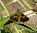 Southern-Sedge Skipper by SirTimid