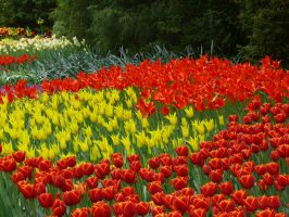 Tulips18 by Otoff