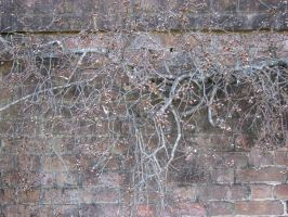 old dead vines by KnB-Stock