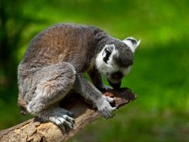 Ring Tailed Lemur 01 - June 12 by mszafran
