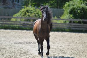 Black warlander trot front on head up by equustock